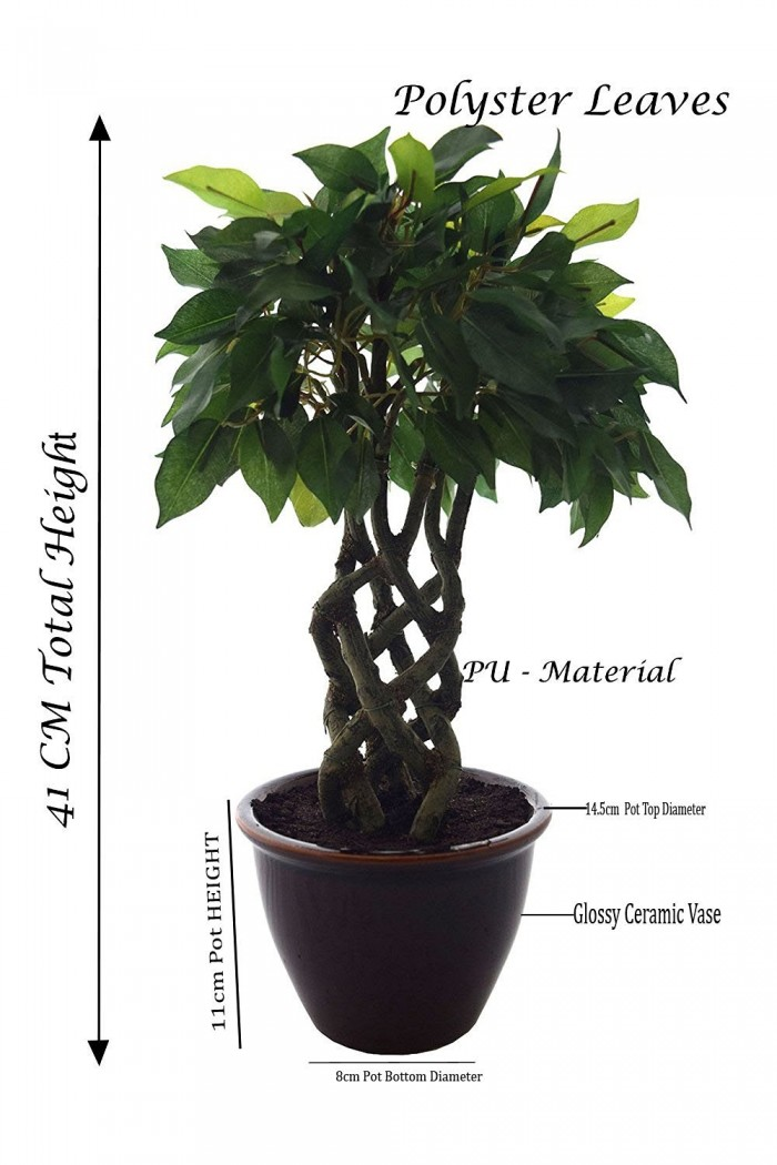 Bonsai Ficus Plant Dimensions