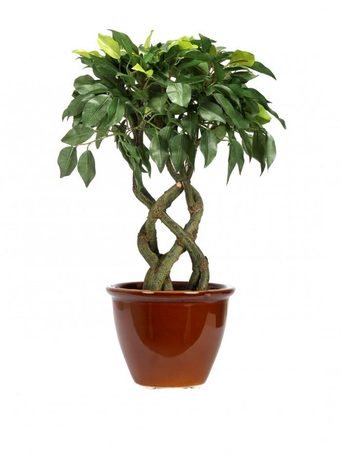 Bonsai Ficus Plant Dimensions