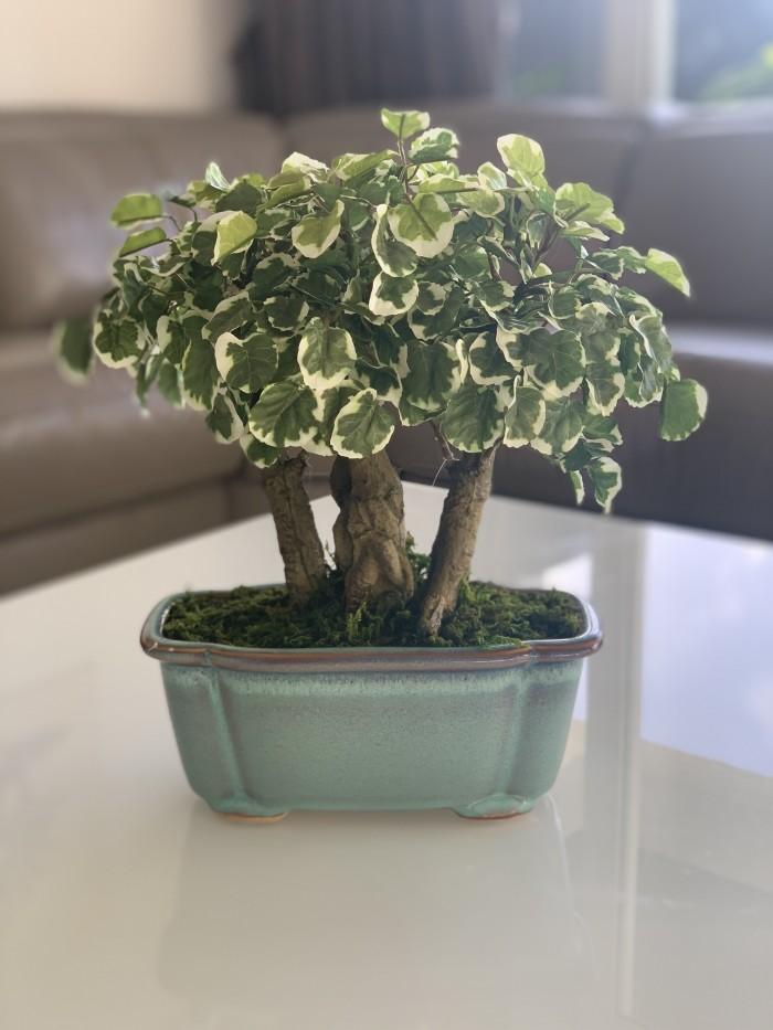 Buy Artificial Polyscias Potted Plant online